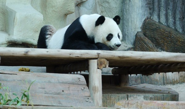 Panda bears don't like TunnelBears, but the fab VPN app worked great in Chiang Mai, Thailand where this panda lives.