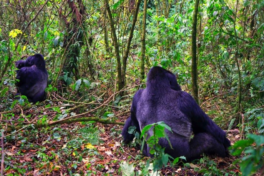 Mountain gorilla backs