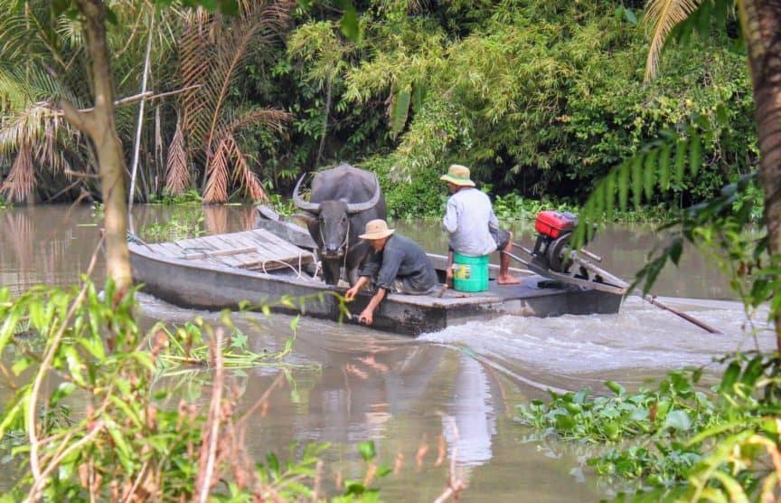 Water buffalo on boat, Vietnam