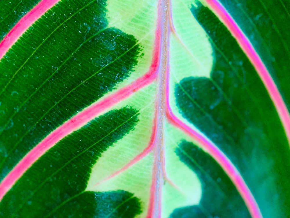 Maranta plant taken with SANDMARC macro lens