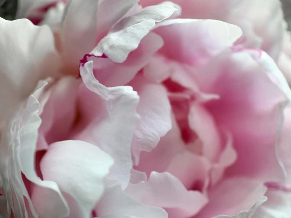 Close-up of a peony