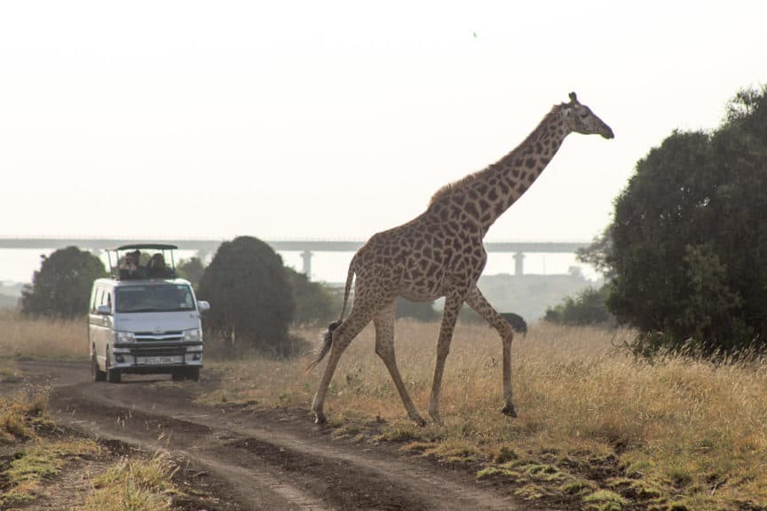 Giraffe and van, Kenya